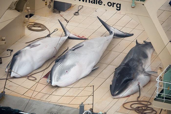 Dead-Minke-Whales-Nisshin-Maru-Deck-0044265-small.jpg