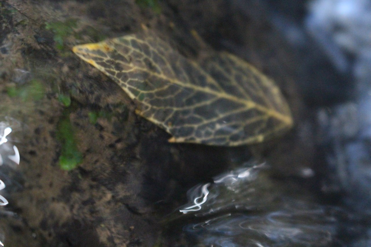 Skeleton_leaf_in_a_Tarkine_stream_small.jpg