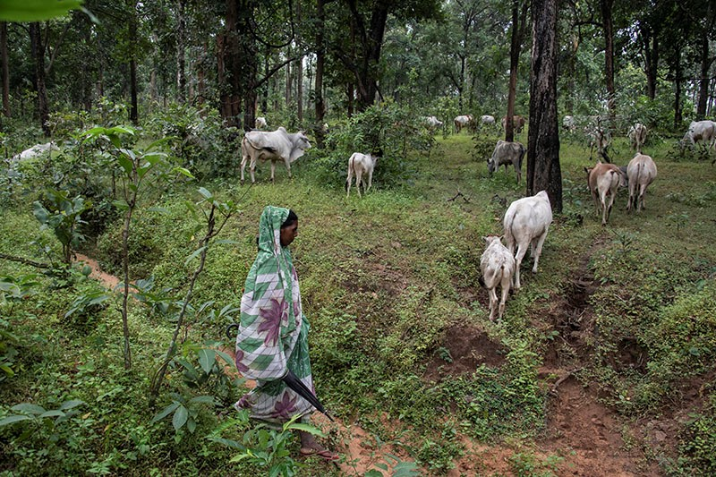 Adivasi people graze their livestock in the Hasdeo forests - on top of billions of tonnes of coal. Photo Brian Cassey www.briancasseyphotographer.com