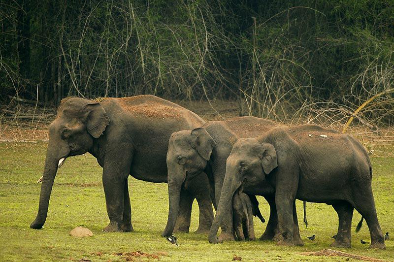 Wild elephants, India. Photo Wikimedia Commons.