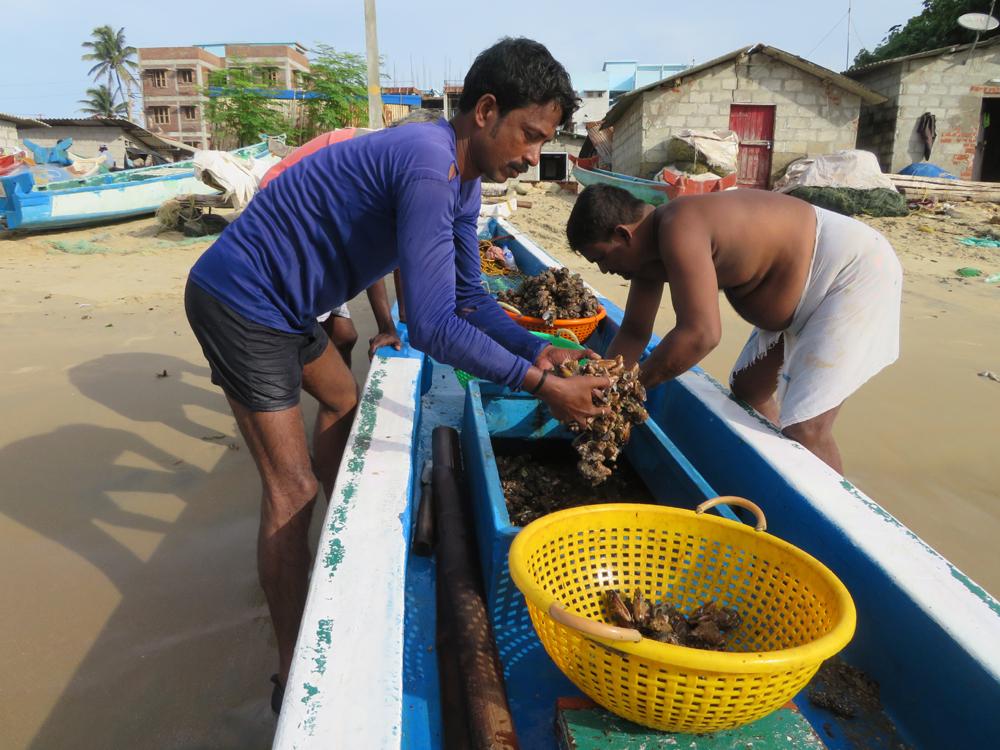 Collecting mussel harvest near Vizhinjam - a threatened livelihood?