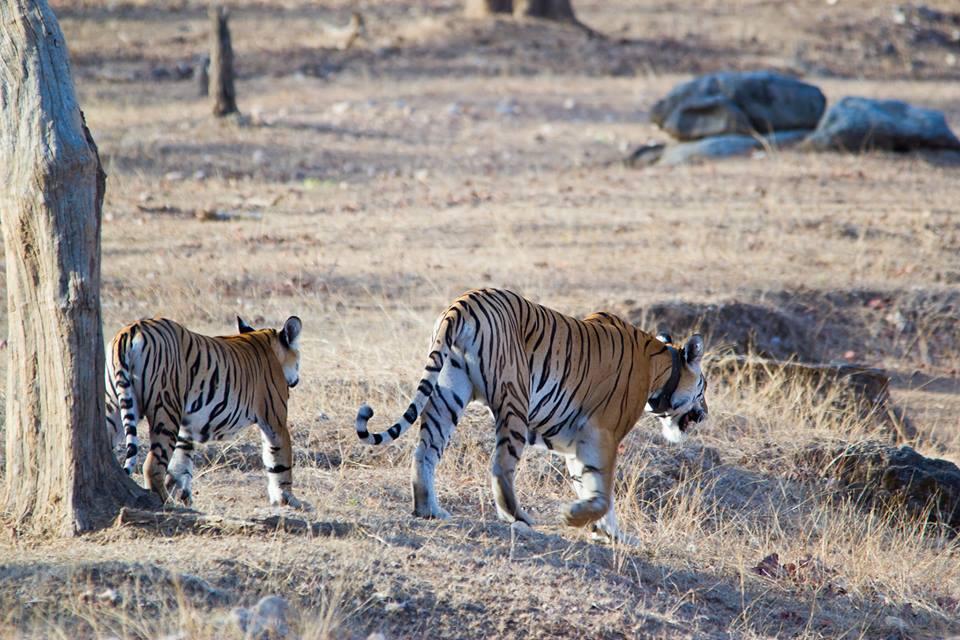 The Pench National Park and Tiger Reserve. Image BigCatsIndia