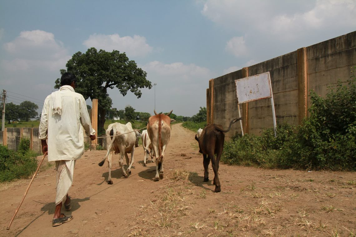 A villager takes his animals to graze on land planned for the Pench coal-power plant.  Image Ankit A.