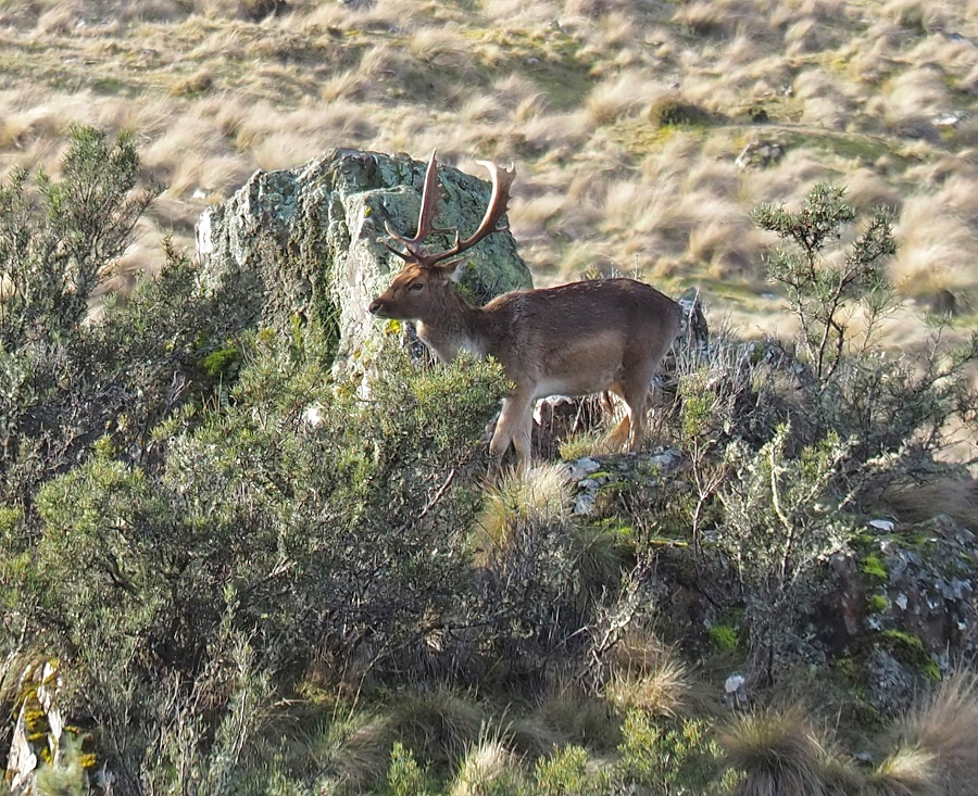 Recently photographed deer at Bradys Lake, Tasmania's Central Plateau.