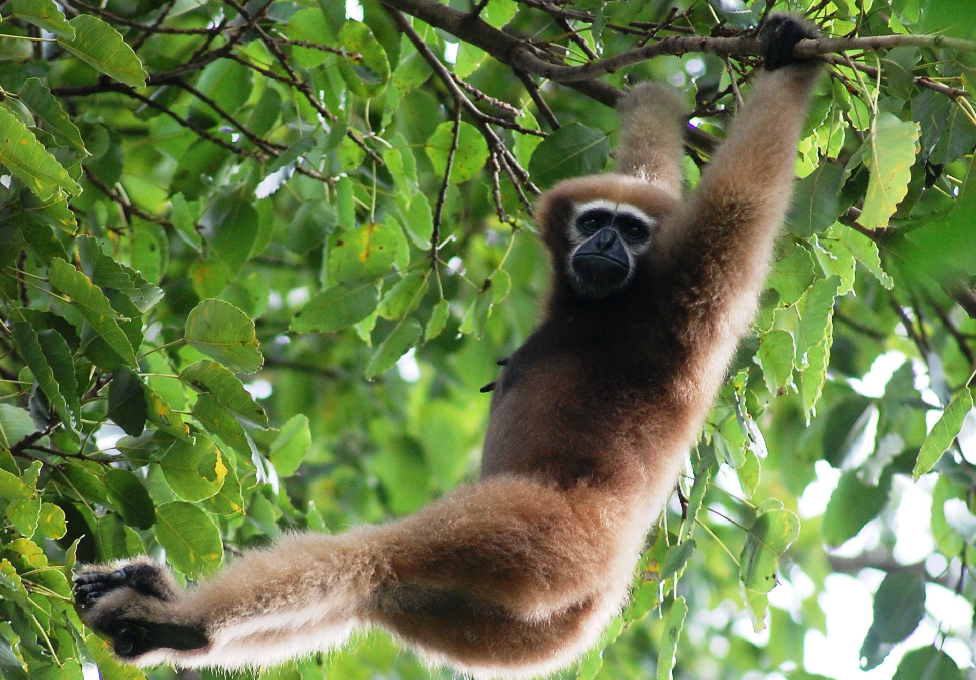 The Hoolock, India's only ape species - it is feared that oil-palm expansion in north-east India could destroy the habitat of rare species like this. Courtesy Wikipedia