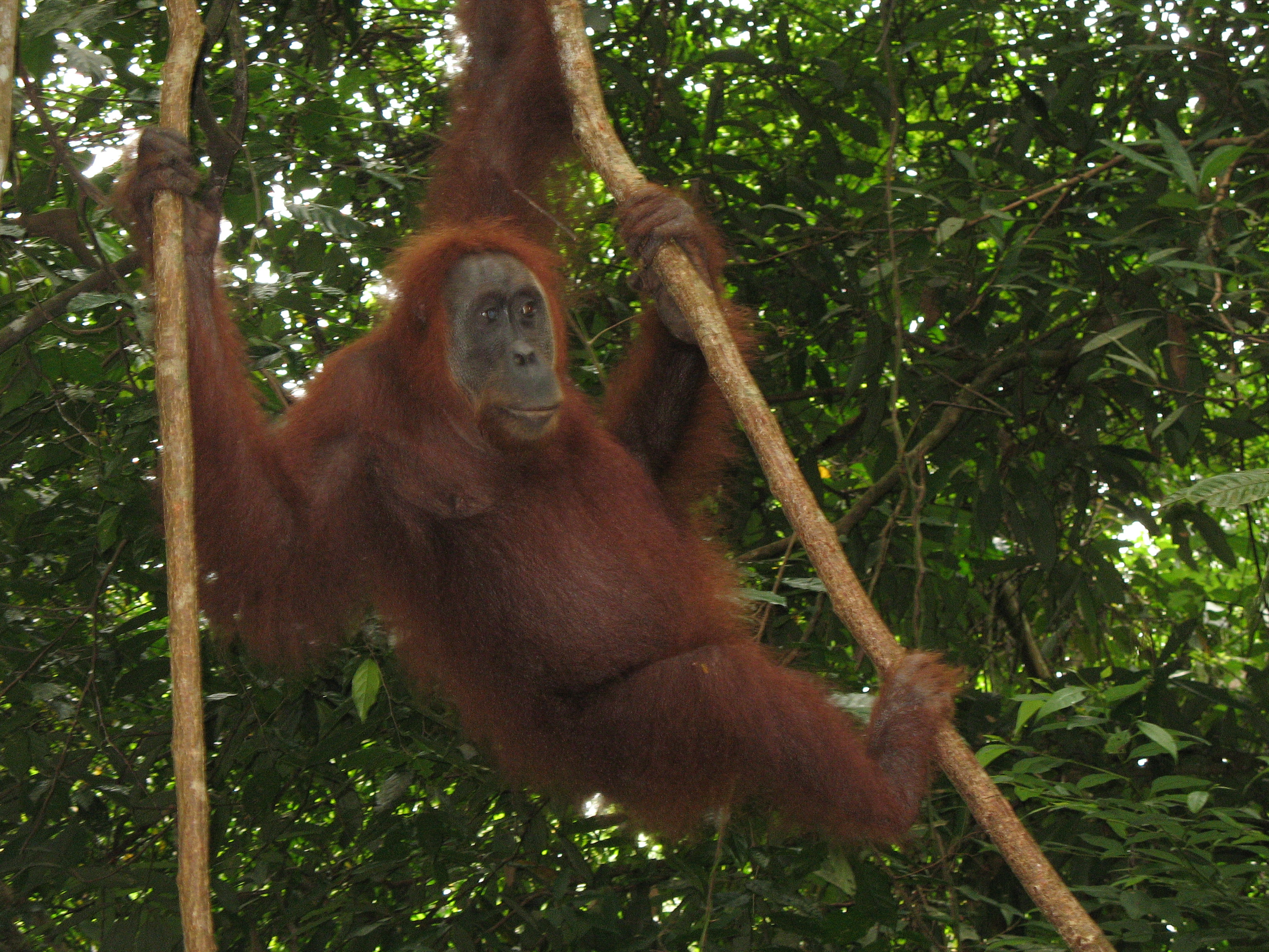 The Sumatran orangutan - pushed closer to extinction by the global trade in palm oil. Photo Geoff Law