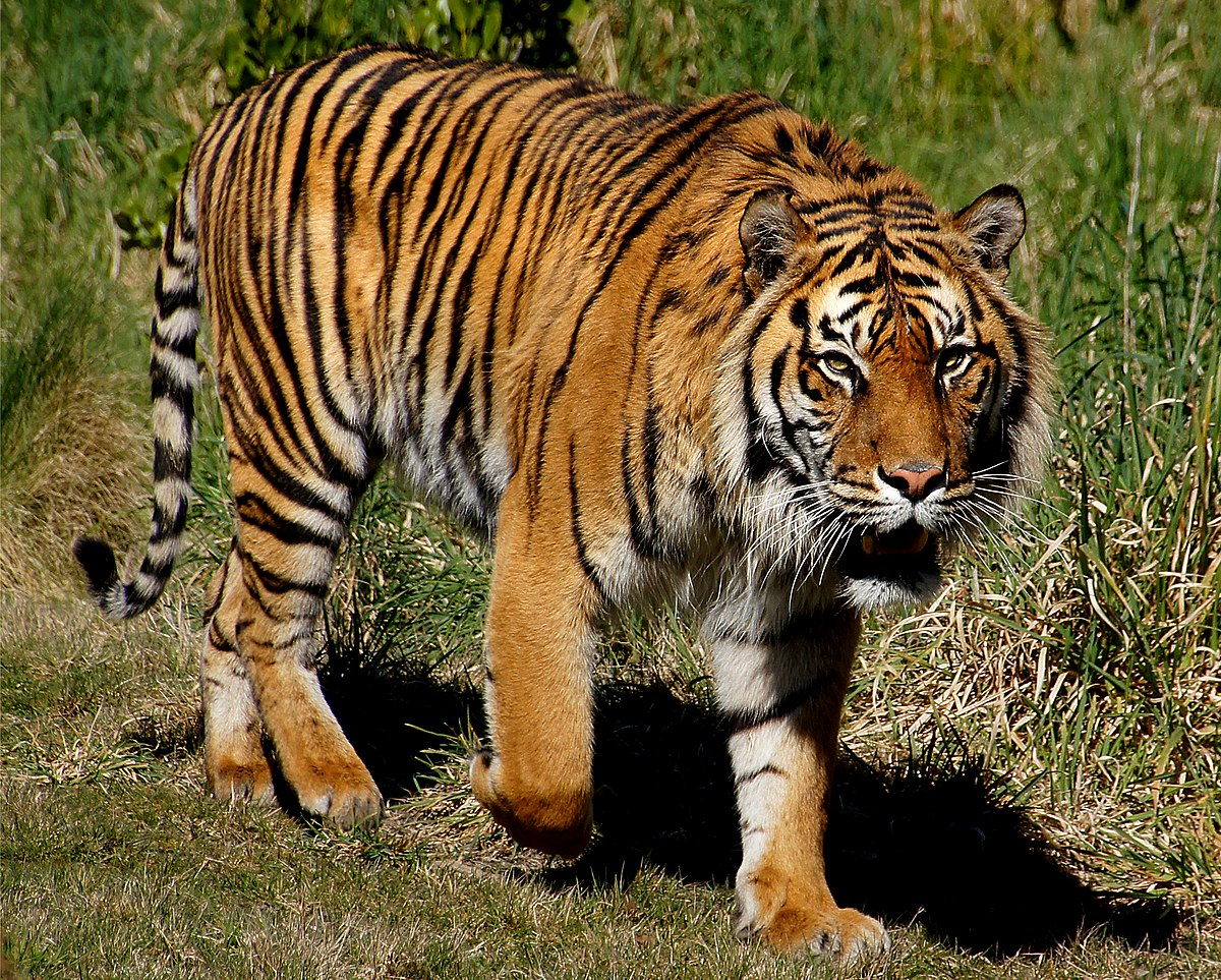 Habitat of the Sumatran tiger has been reduced by palm-oil development. Will the Indian tiger suffer similar consequences? Photo Wikimedia Commons