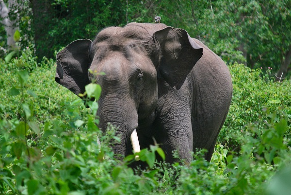 The coal industry's mines, roads, power stations and transmission lines will exacerbate conflict between people and wild animals such as elephants. Image courtesy Wikipedia