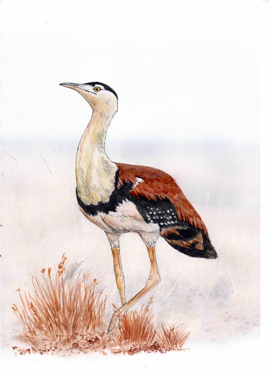 The Great Indian Bustard - its habitat is threatened by Adani's proliferating solar arrays. Image Wildlife Conservation Society India