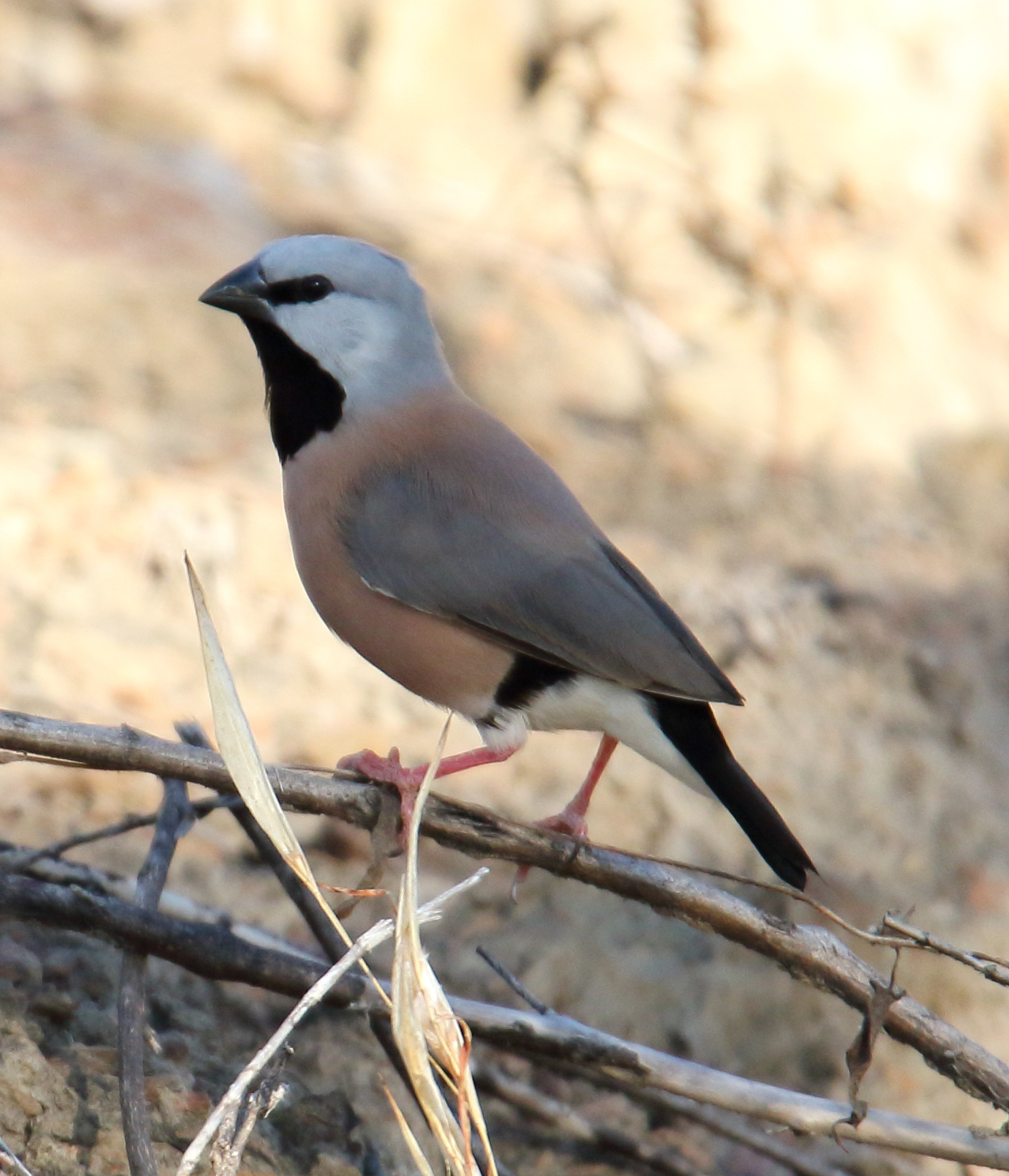 Black-throated Finch (Poephila cincta) - already endangered by mine works, this endangered bird's existence could be further jeopardised by the mine's thirst for scarce water supplies. Image Wikipedia