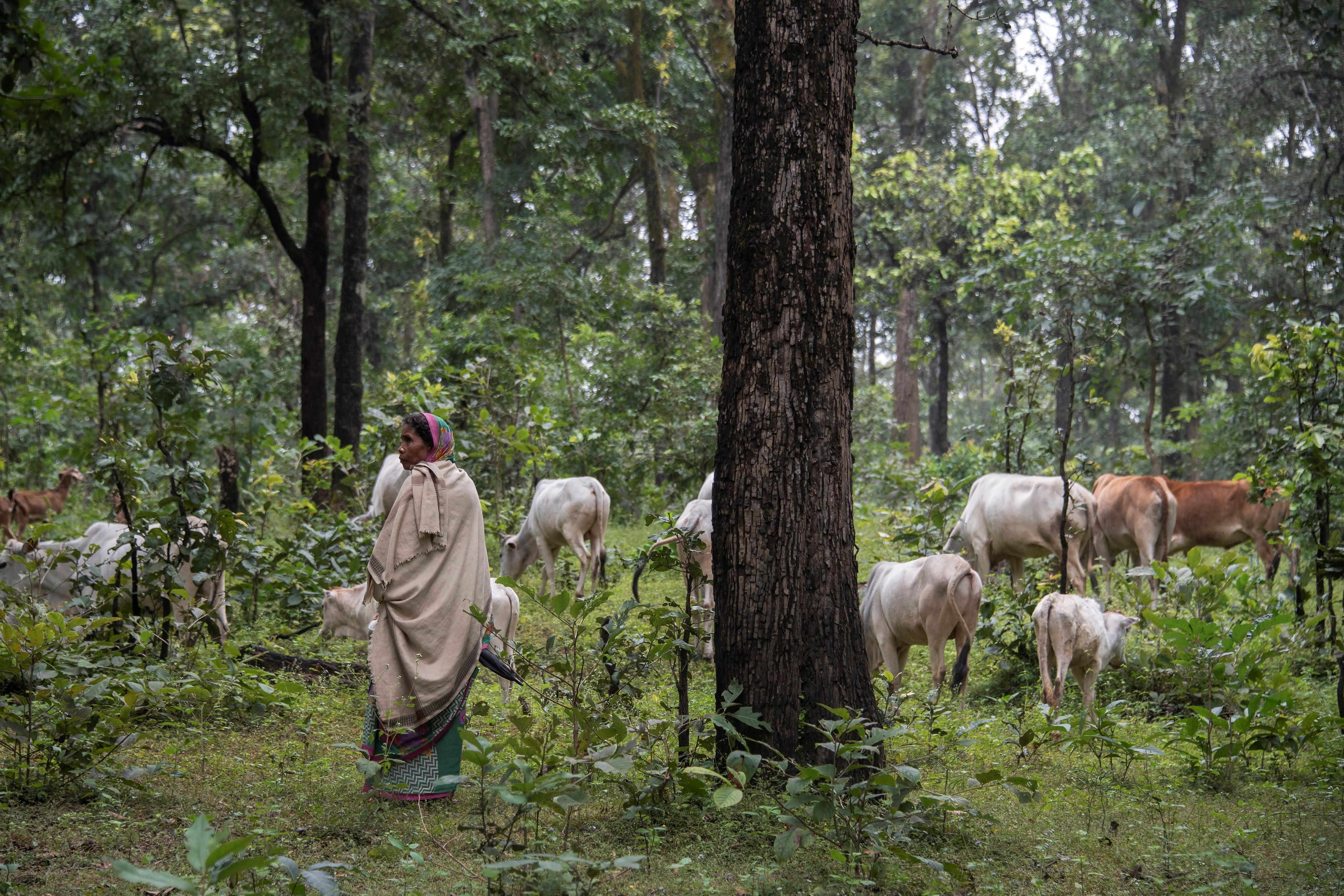 Adivasi people graze livestock in the Hasdeo forests. Image Brian Cassey www.briancasseyphotographer.com
