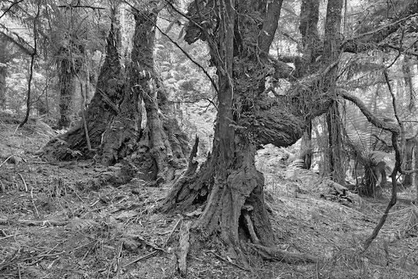 52_-_Temperate_Rainforest_-_Chris_Bell_-_small.jpg