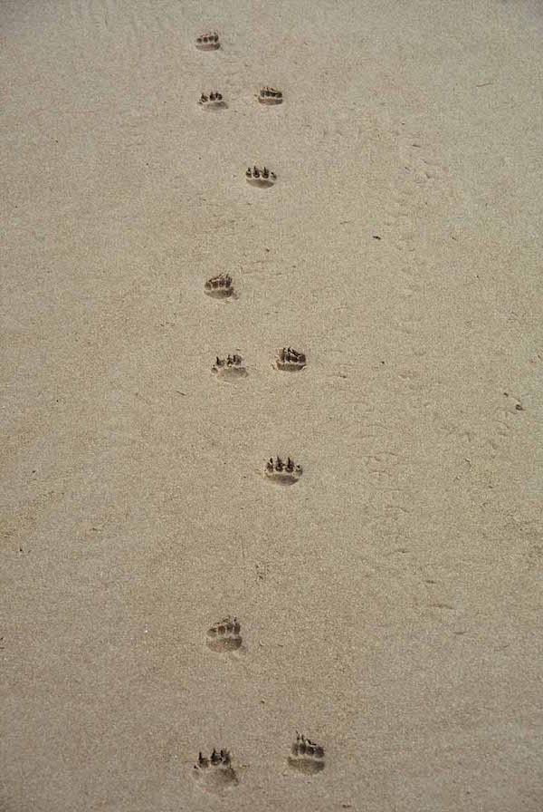 45_-_Devil_footprints_on_Tarkine_Beach_-_Bob_Brown_-_small.jpg