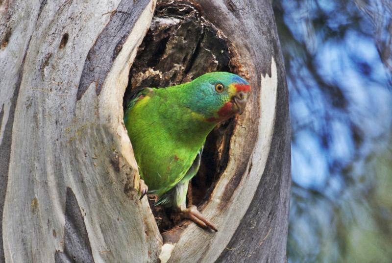 swift-parrot-at-nest.jpg