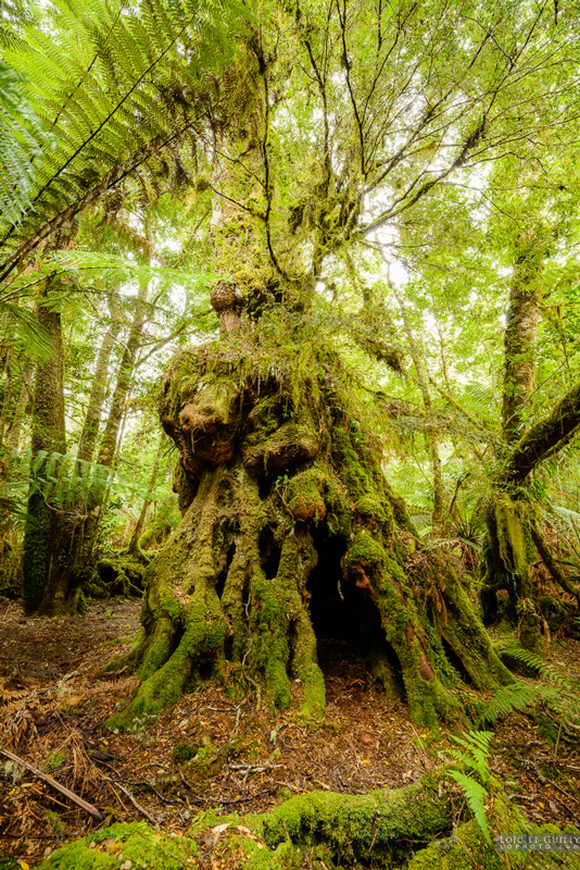 Tarkine Rainforest, scheduled for logging, photographed by Loic LeGuilly
