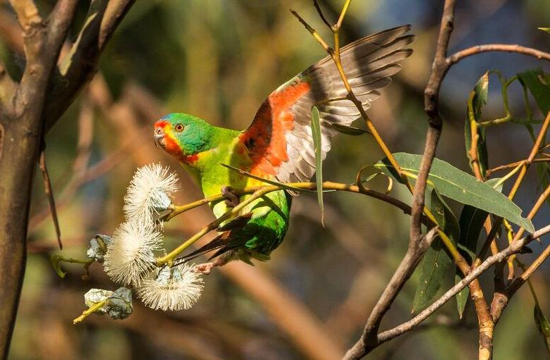 Swift_parrot-_Henry_Cook.jpg