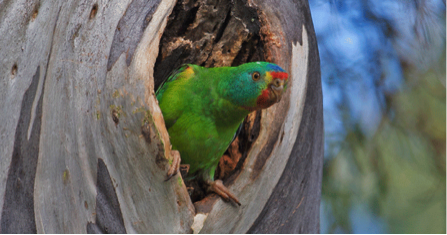 swift_parrot_-_Dejan_Stojanovic.png