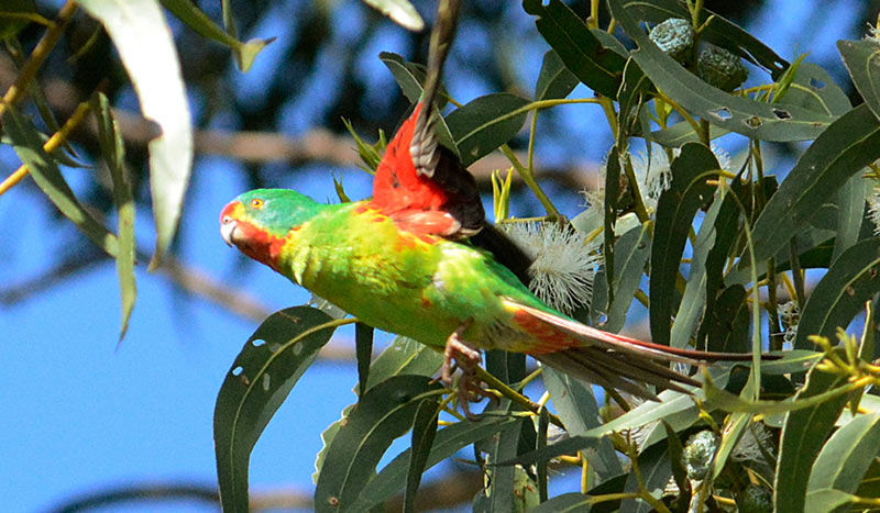 Swift-Parrot-11206-small.jpg