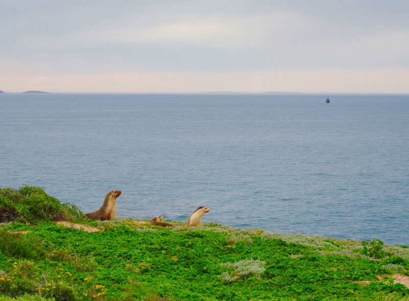 Australian sea lions of St Francis Islands, Great Australian Bight