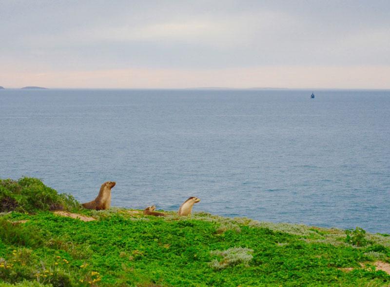 Australian sea lions of St Francis Islands, Great Australian Bight
