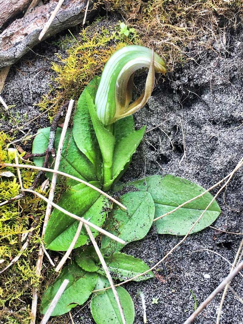 Leafy-Greenhood-orchid-Craig-Broadfield-small.jpg