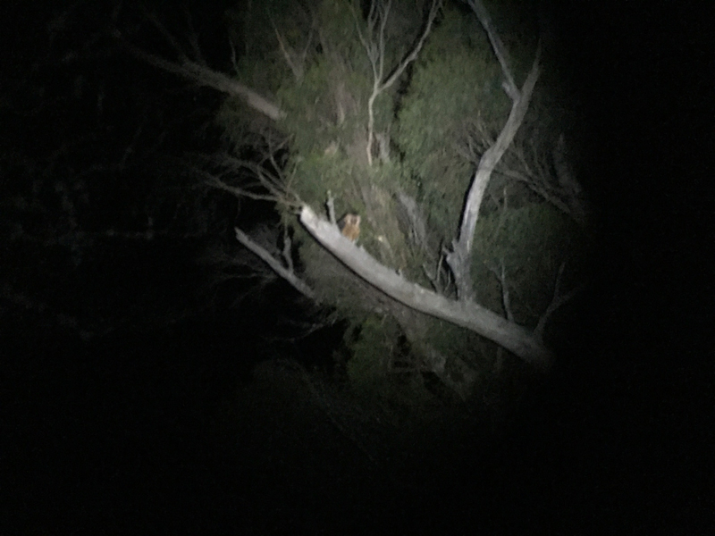 Frank-Birds-masked-owl-small.jpg