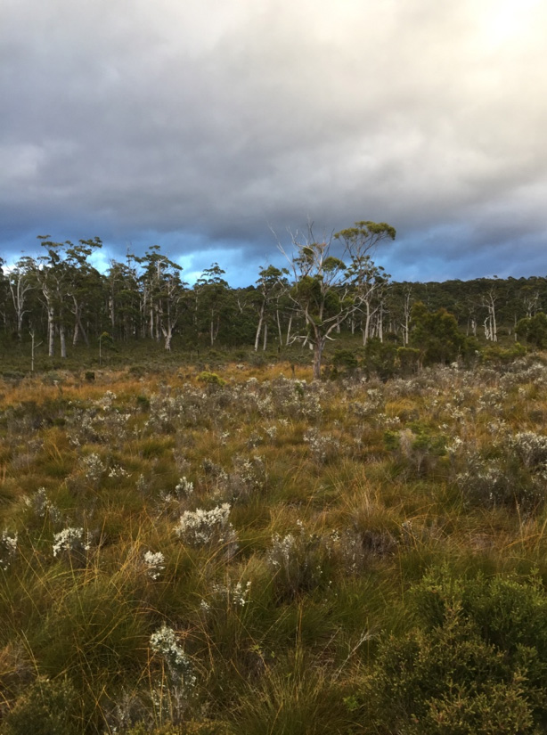 Buttongrass moorland bordering scheduled clear-fell logging coupe LU040F