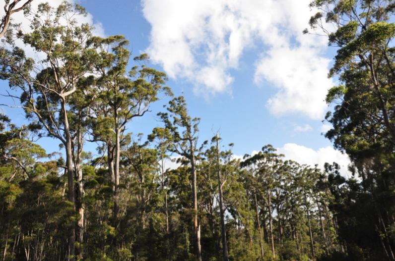 Mature Eucalyptus obliqua in scheduled logging coupe LU040F