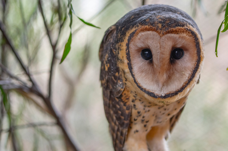 Tasmanian Masked Owl (Photo: Luke O'Brien)