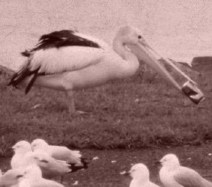 latest-news-pelican_thumbnail.jpg