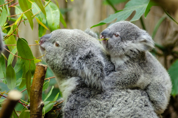 Koala_mum_and_cub.png