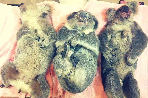 dead_koalas.png
