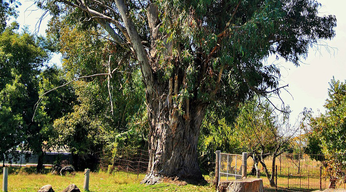 Those big, old trees must be protected