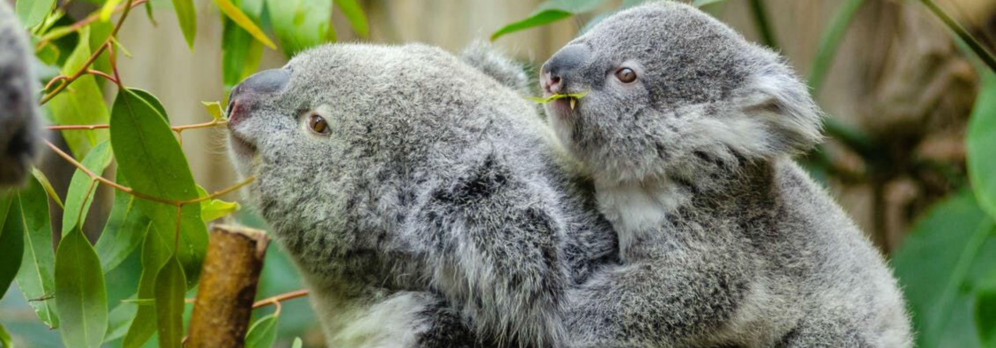Save Sydney's Koalas