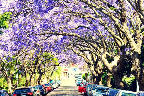 jacaranda_street.png