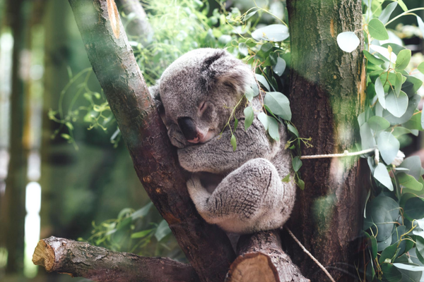 sleepy_koala.png
