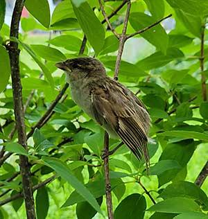 Recent Songbird Deaths