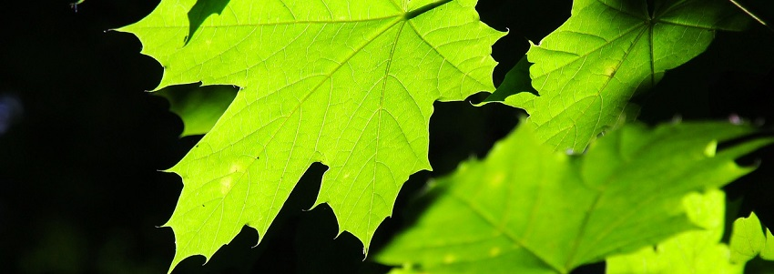 green-leaves-2364311_1280.jpg