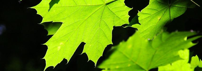 green-leaves-2364311_1280.jpg