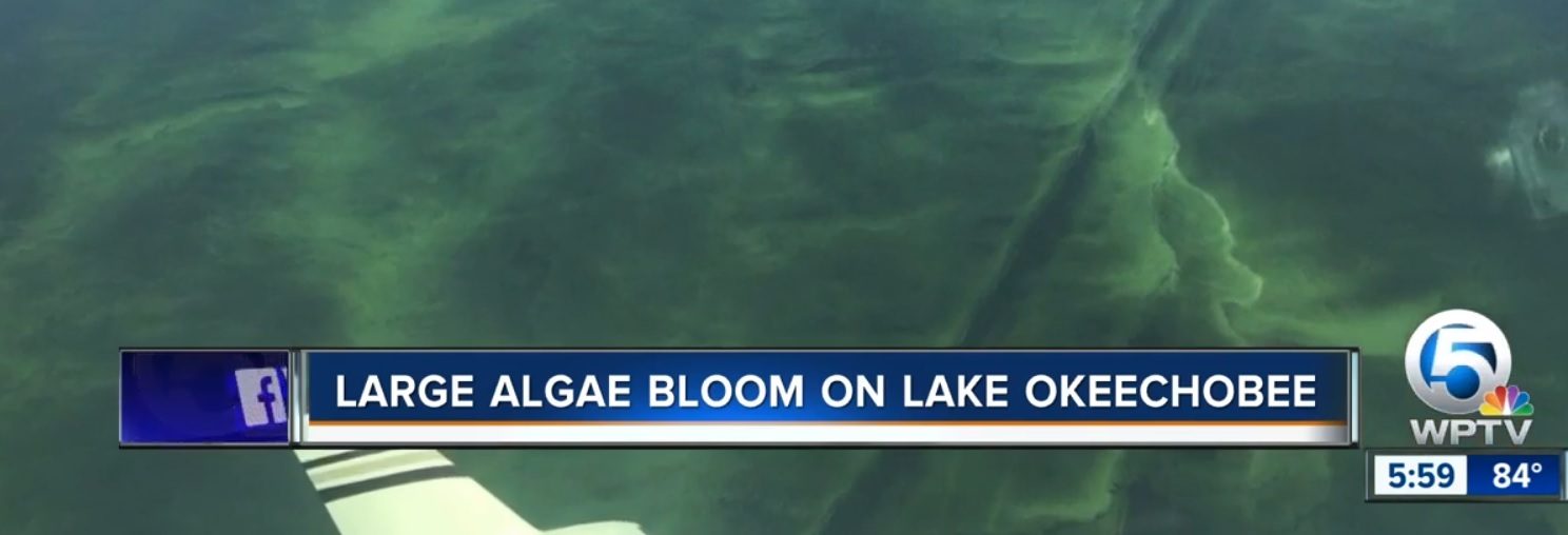 A new algal bloom now covers more than 100 square miles of Lake Okeechobee