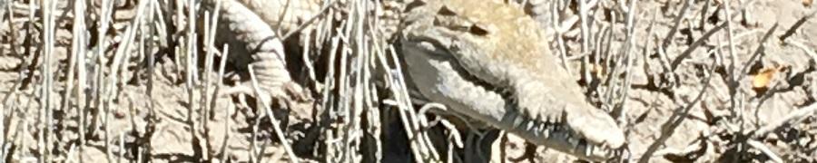 Everglades Croc - Bullsugar.org