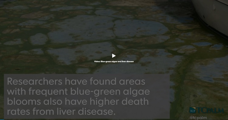 TC Palm Video: Researchers Link Toxic Algae Blooms to Liver Disease Deaths