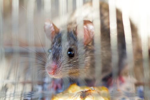 gray mouse in cage