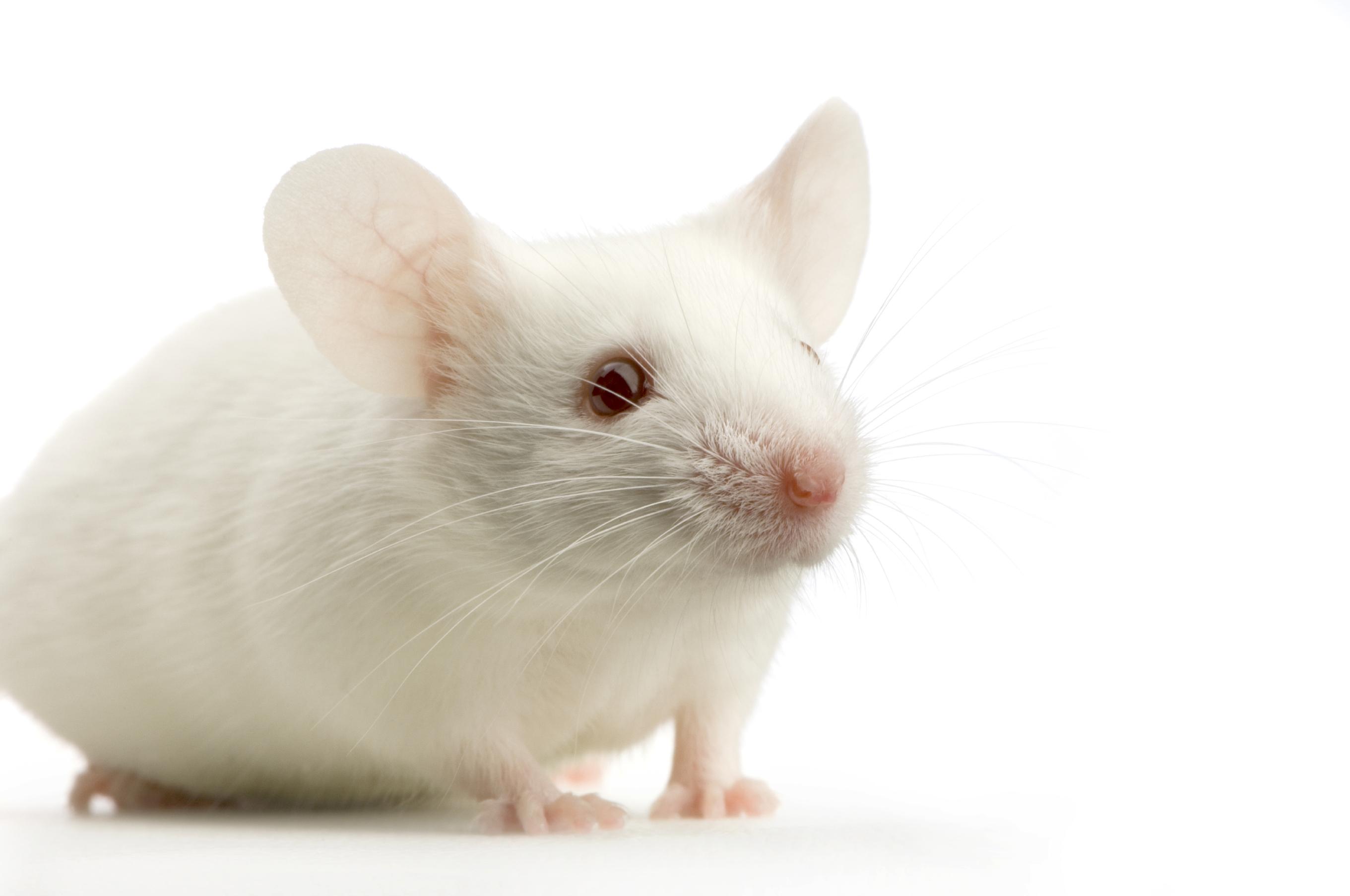 Rat White