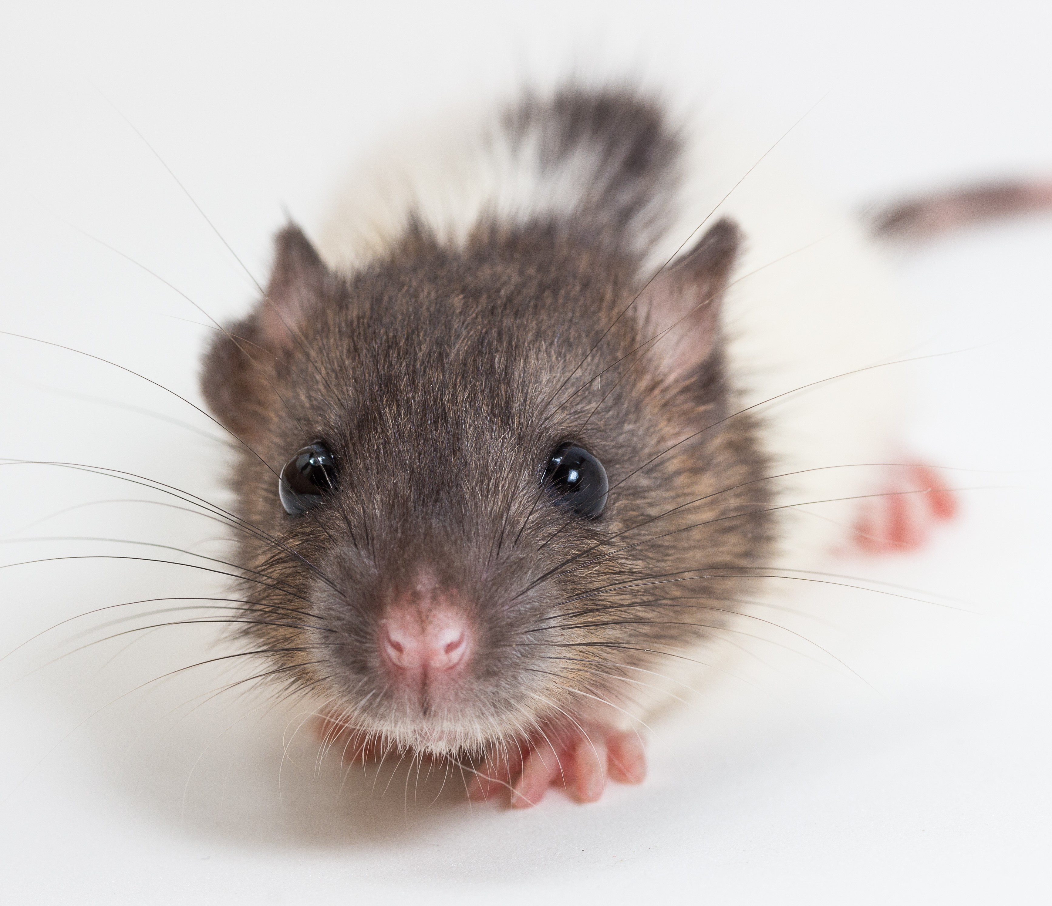 closeup_cute_baby_rat_crop.jpg