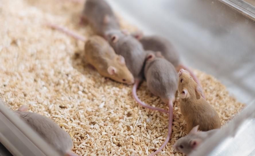 mice_on_litter_cropped.jpg