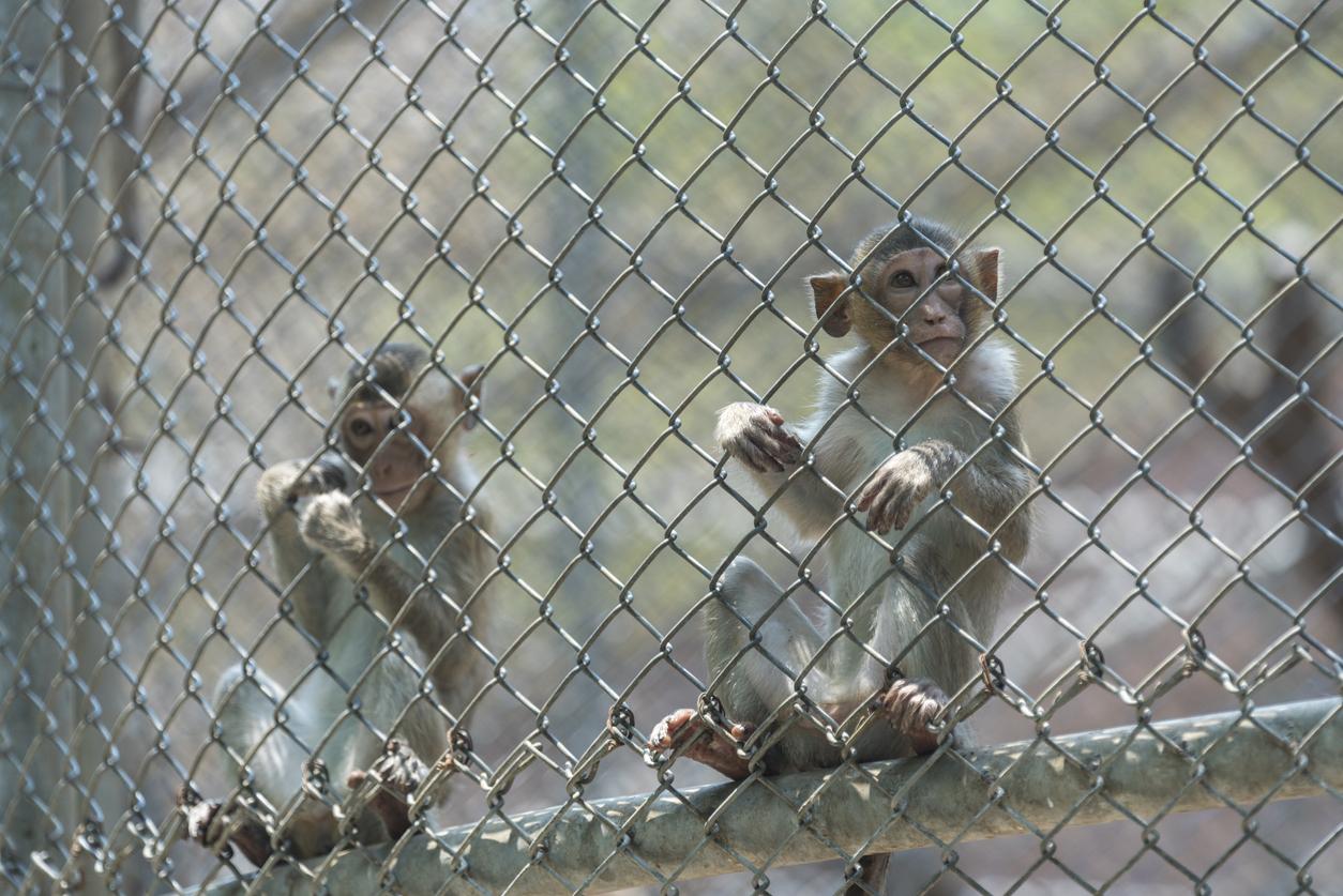 monkeys_behind_fence.jpg