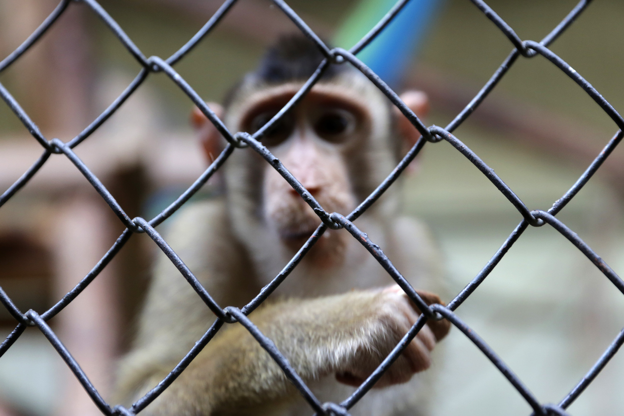 monkey_sad_caged.jpg