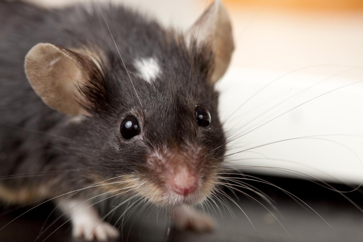 brown_mouse_closeup.jpg