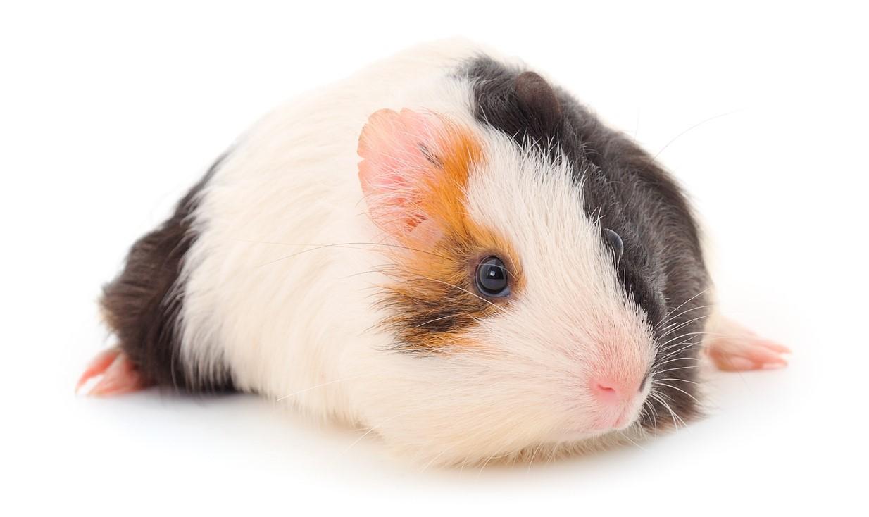 guinea_pig_crop.jpg